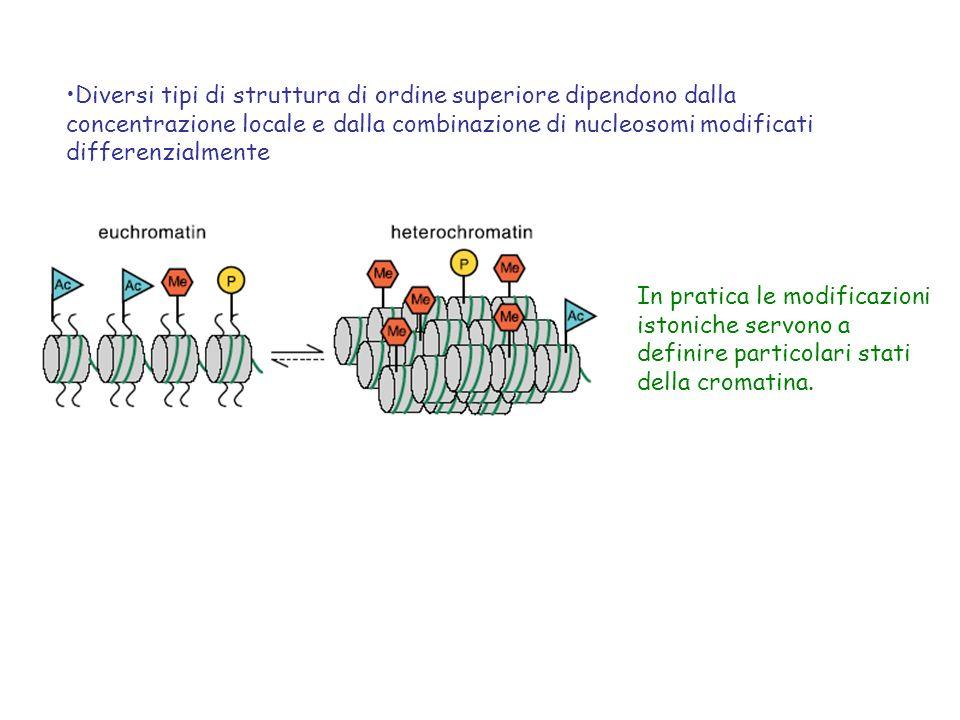 Diversi tipi di struttura di ordine superiore dipendono dalla concentrazione locale e dalla combinazione di nucleosomi modificati differenzialmente In