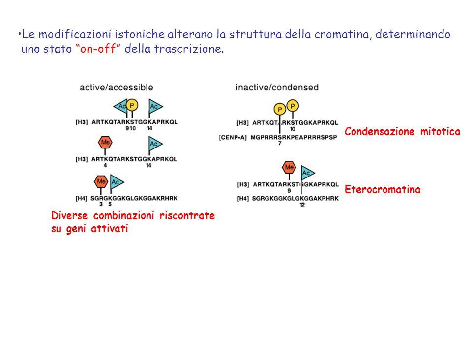 Le modificazioni istoniche alterano la struttura della cromatina, determinando uno stato on-off della trascrizione. Condensazione mitotica Eterocromat