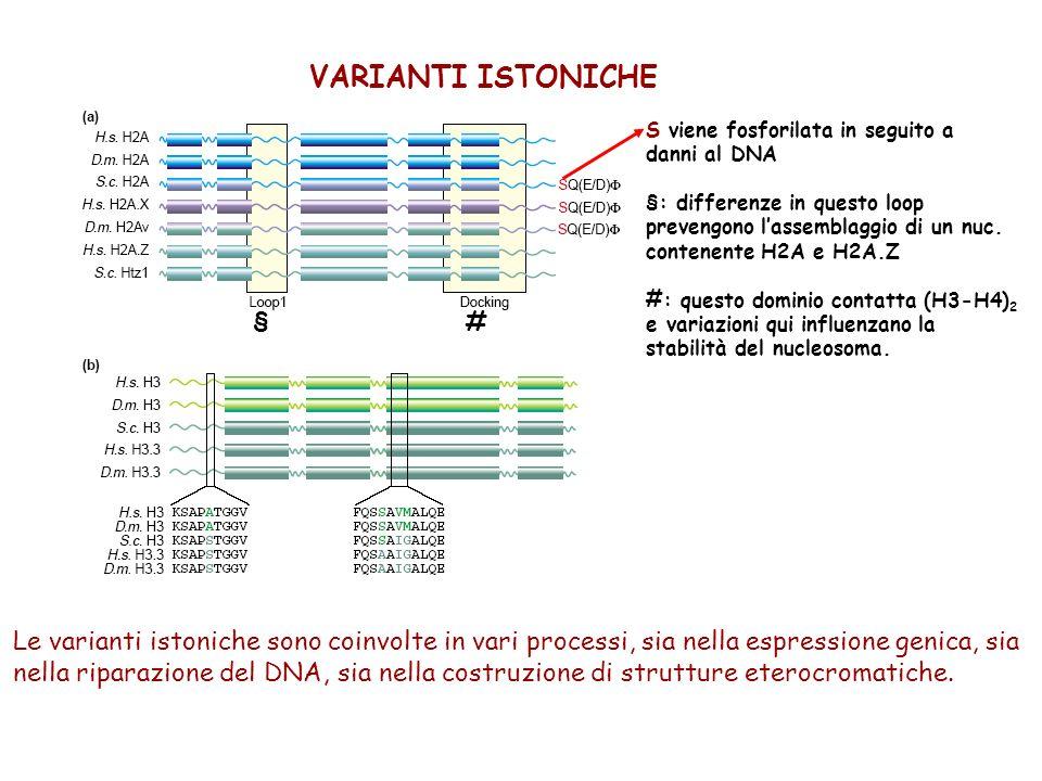 VARIANTI DI H3 Le principali varianti di H3 nei mammiferi sono: Varianti replicative: H3.1 e H3.2 deposti durante la fase S Varianti di sostituzione: 1.H3.3: ruolo positivo nella trascrizione.