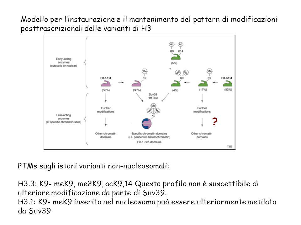 Modello per linstaurazione e il mantenimento del pattern di modificazioni posttrascrizionali delle varianti di H3 PTMs sugli istoni varianti non-nucle