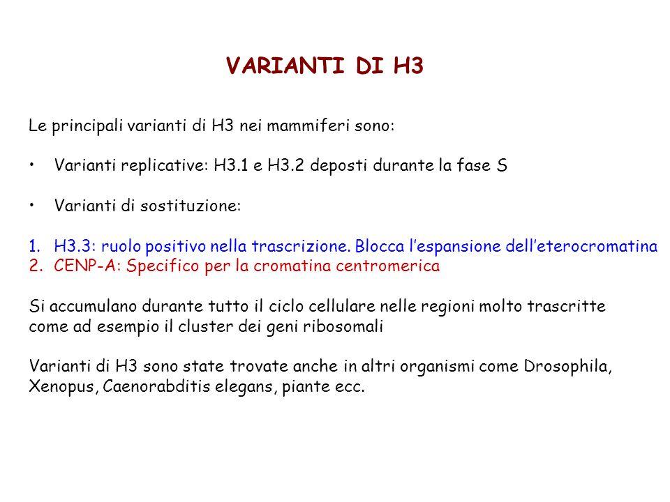 VARIANTI DI H3 Le principali varianti di H3 nei mammiferi sono: Varianti replicative: H3.1 e H3.2 deposti durante la fase S Varianti di sostituzione: