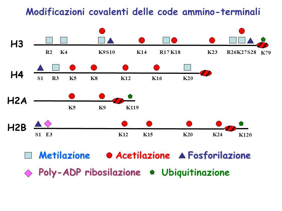 H3 H2A H4 H2B R2K4K9S10K14R17K18K23R26K27S28 MetilazioneAcetilazioneFosforilazione Modificazioni covalenti delle code ammino-terminali Poly-ADP ribosi