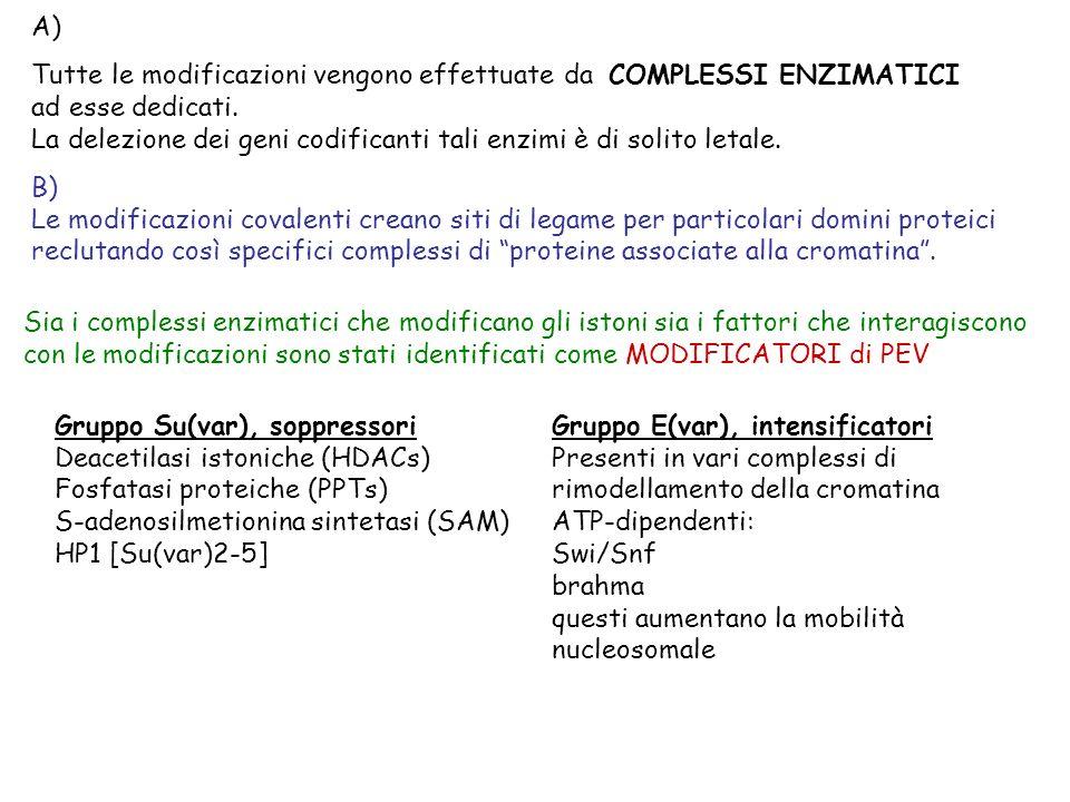 Su(var) ed E(var) CONTENGONO PARTICOLARI DOMINI PROTEICI Bromodominio: SNF2 TAFII250 HRX/M11 (gruppo TRX nel mammifero; interagisce con complessi di rimodellamento) Dominio SET: Su(var)3-9 E(z) (gruppo Pc; ha anche attività di Acetilasi istonica) Tritorax Cromodominio: Polycomb HP1