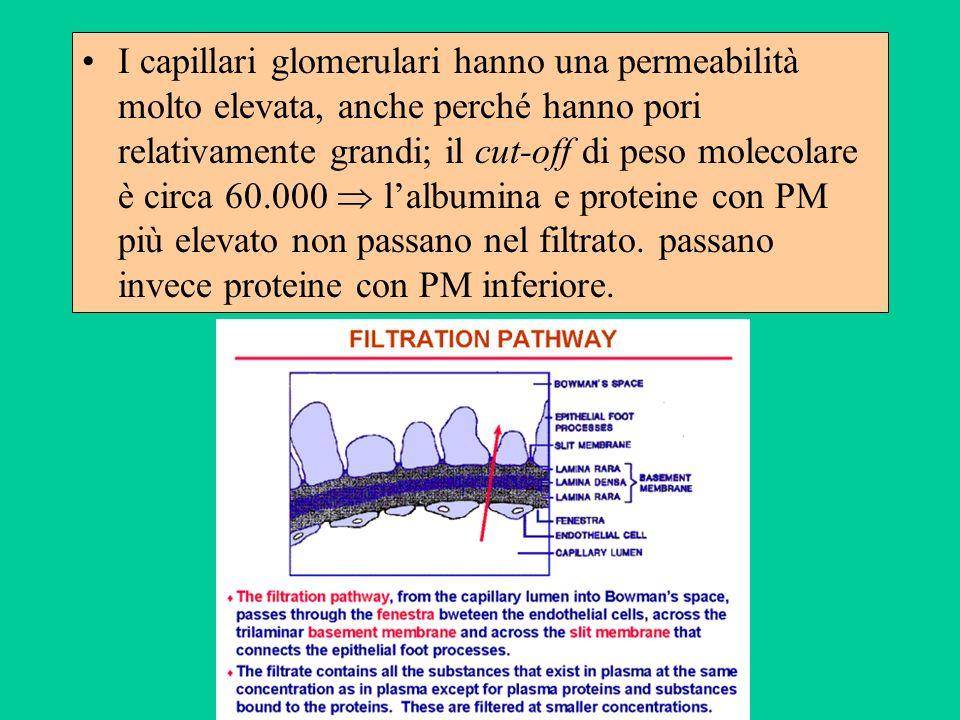 I capillari glomerulari hanno una permeabilità molto elevata, anche perché hanno pori relativamente grandi; il cut-off di peso molecolare è circa 60.0