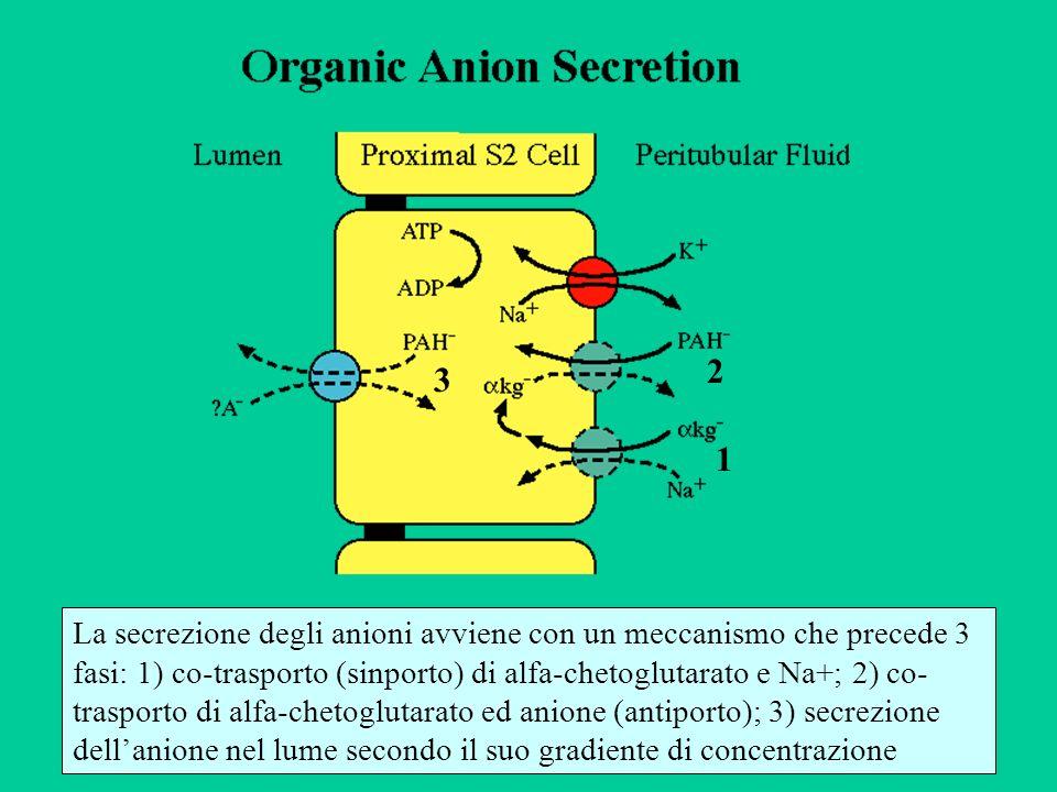 La secrezione degli anioni avviene con un meccanismo che precede 3 fasi: 1) co-trasporto (sinporto) di alfa-chetoglutarato e Na+; 2) co- trasporto di