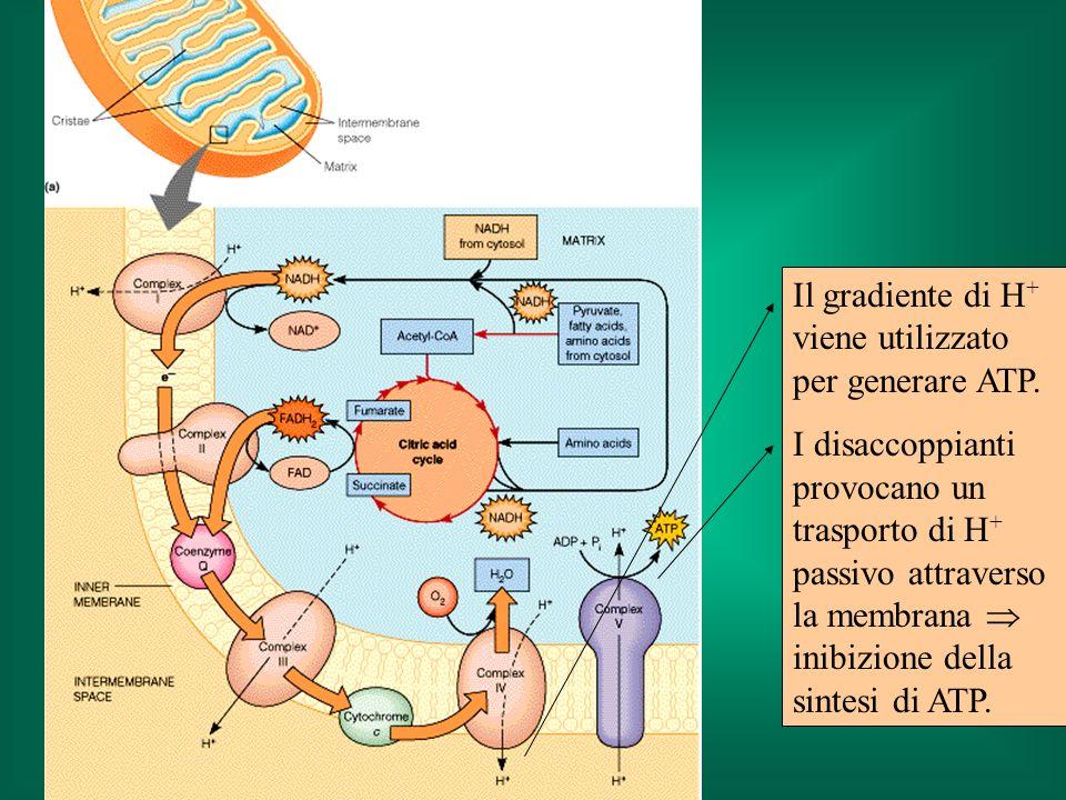 Il gradiente di H + viene utilizzato per generare ATP. I disaccoppianti provocano un trasporto di H + passivo attraverso la membrana inibizione della