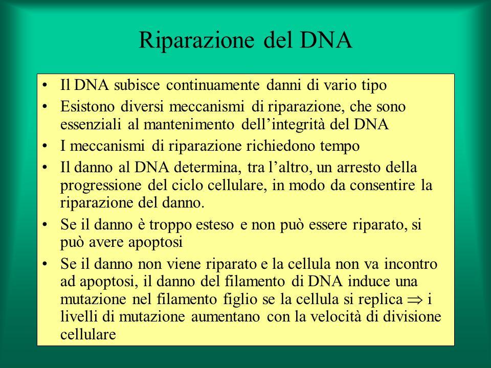 Riparazione del DNA Il DNA subisce continuamente danni di vario tipo Esistono diversi meccanismi di riparazione, che sono essenziali al mantenimento d