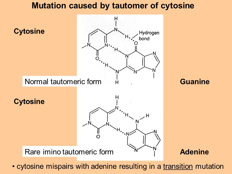 Mutation caused by tautomer of cytosine Cytosine Guanine Adenine cytosine mispairs with adenine resulting in a transition mutation Normal tautomeric f