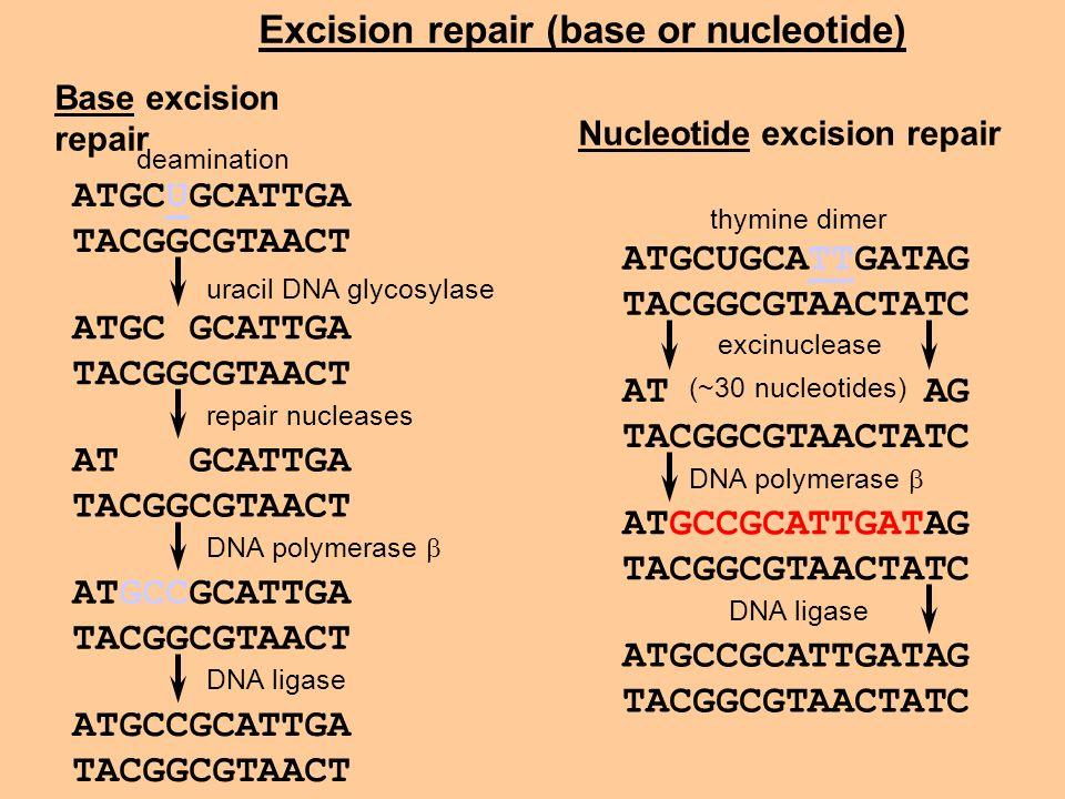 Excision repair (base or nucleotide) ATGCUGCATTGATAG TACGGCGTAACTATC thymine dimer AT AG TACGGCGTAACTATC ATGCCGCATTGATAG TACGGCGTAACTATC ATGCCGCATTGAT