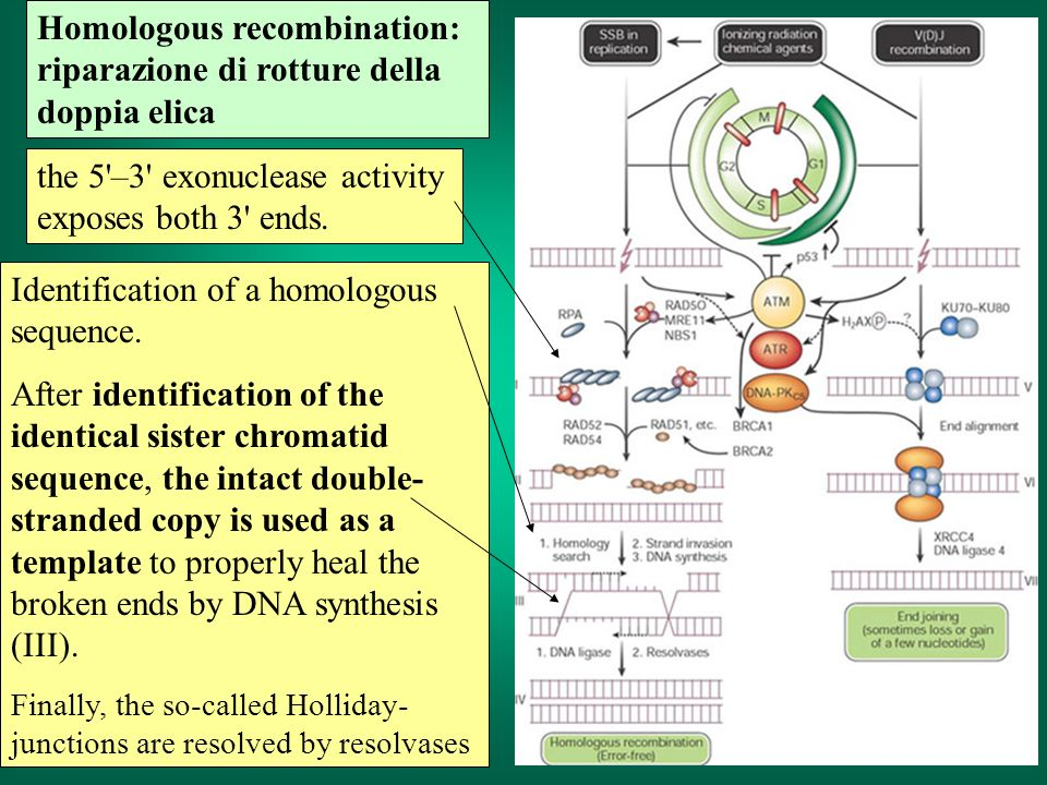 Homologous recombination: riparazione di rotture della doppia elica Identification of a homologous sequence. After identification of the identical sis