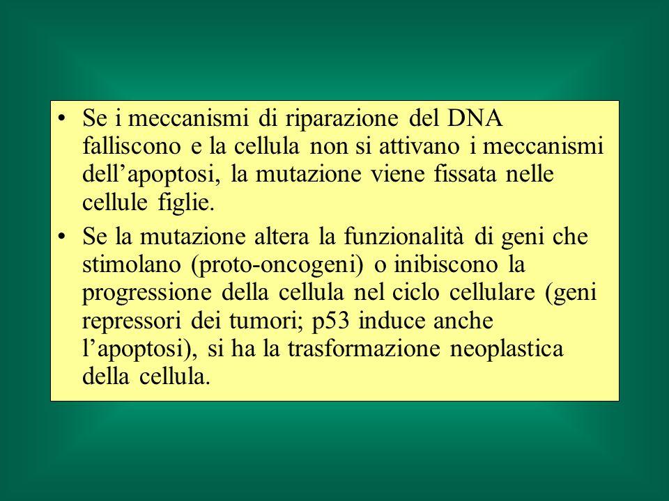 Se i meccanismi di riparazione del DNA falliscono e la cellula non si attivano i meccanismi dellapoptosi, la mutazione viene fissata nelle cellule fig
