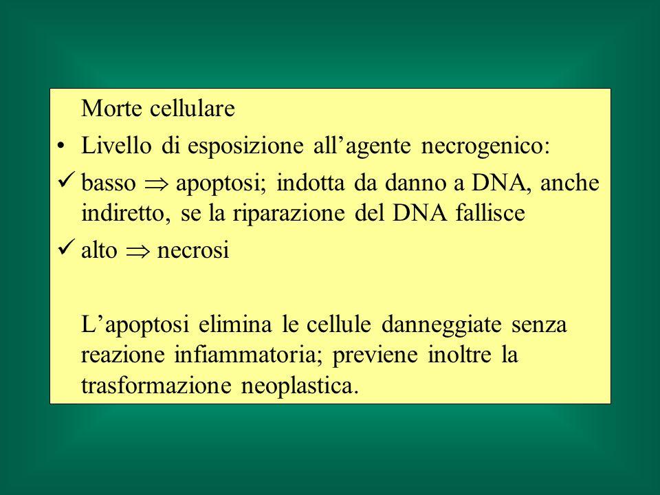 Morte cellulare Livello di esposizione allagente necrogenico: basso apoptosi; indotta da danno a DNA, anche indiretto, se la riparazione del DNA falli