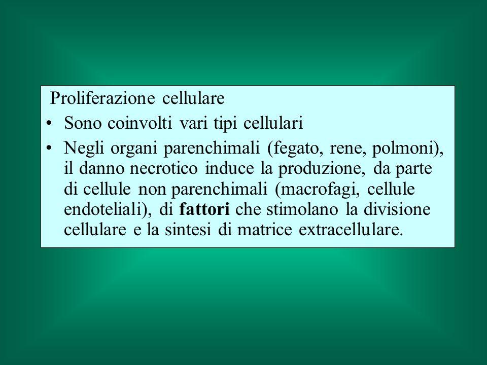 Proliferazione cellulare Sono coinvolti vari tipi cellulari Negli organi parenchimali (fegato, rene, polmoni), il danno necrotico induce la produzione
