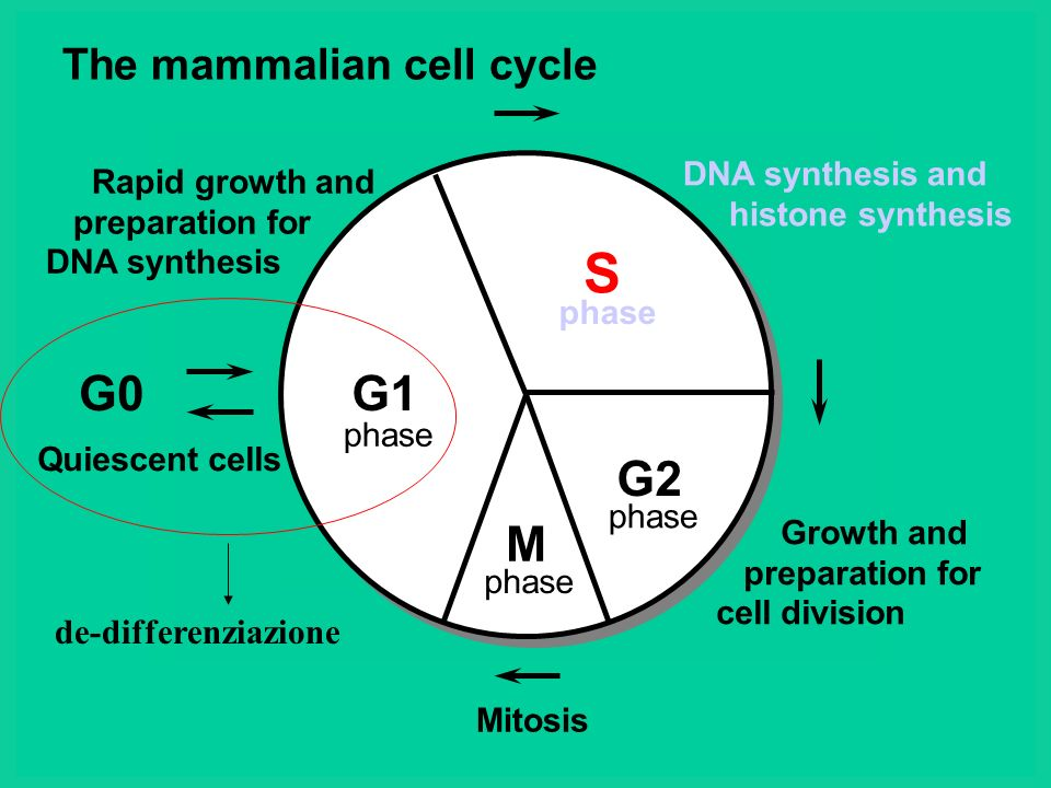 The mammalian cell cycle G1 S G2 M G0 DNA synthesis and histone synthesis Growth and preparation for cell division Rapid growth and preparation for DN