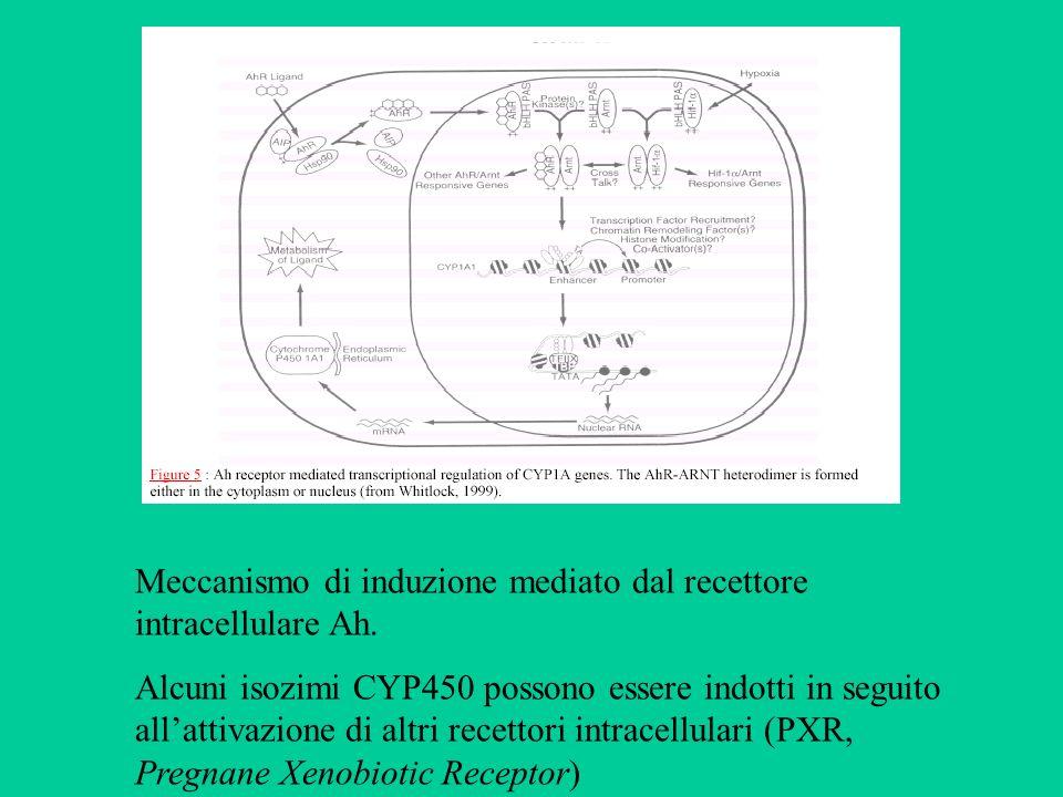 Meccanismo di induzione mediato dal recettore intracellulare Ah. Alcuni isozimi CYP450 possono essere indotti in seguito allattivazione di altri recet