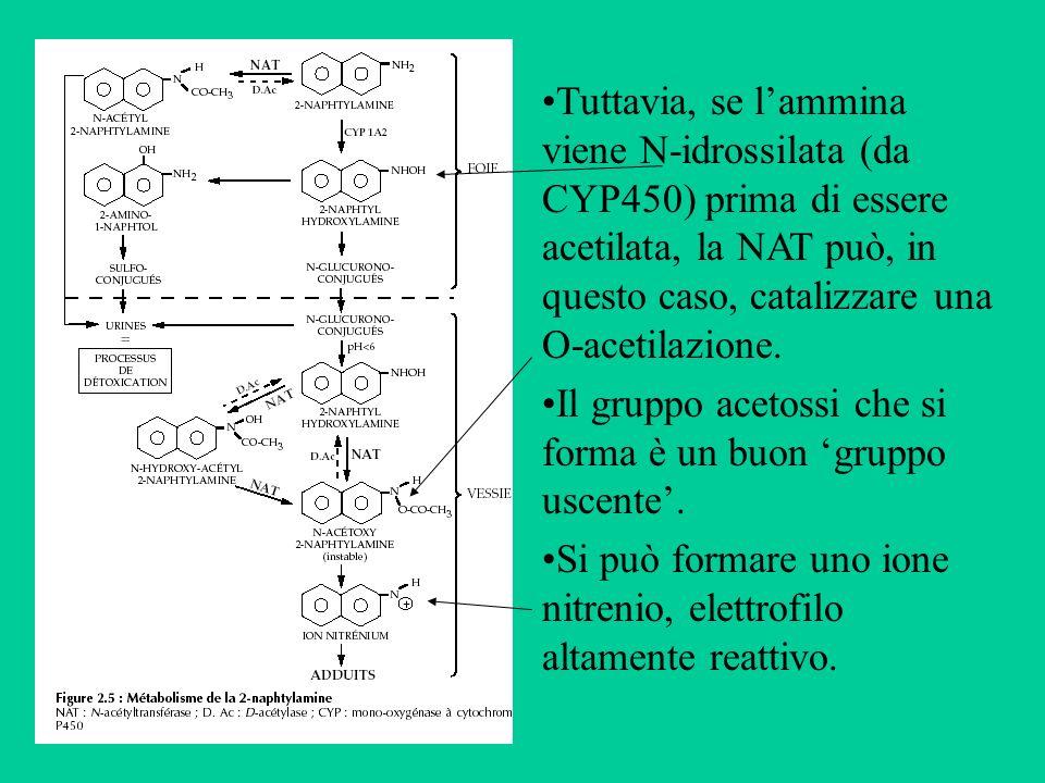 Tuttavia, se lammina viene N-idrossilata (da CYP450) prima di essere acetilata, la NAT può, in questo caso, catalizzare una O-acetilazione. Il gruppo