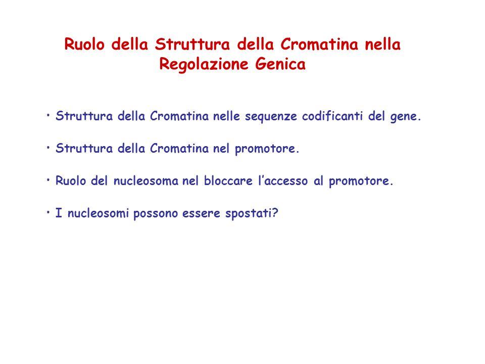 Ruolo della Struttura della Cromatina nella Regolazione Genica Struttura della Cromatina nelle sequenze codificanti del gene. Struttura della Cromatin