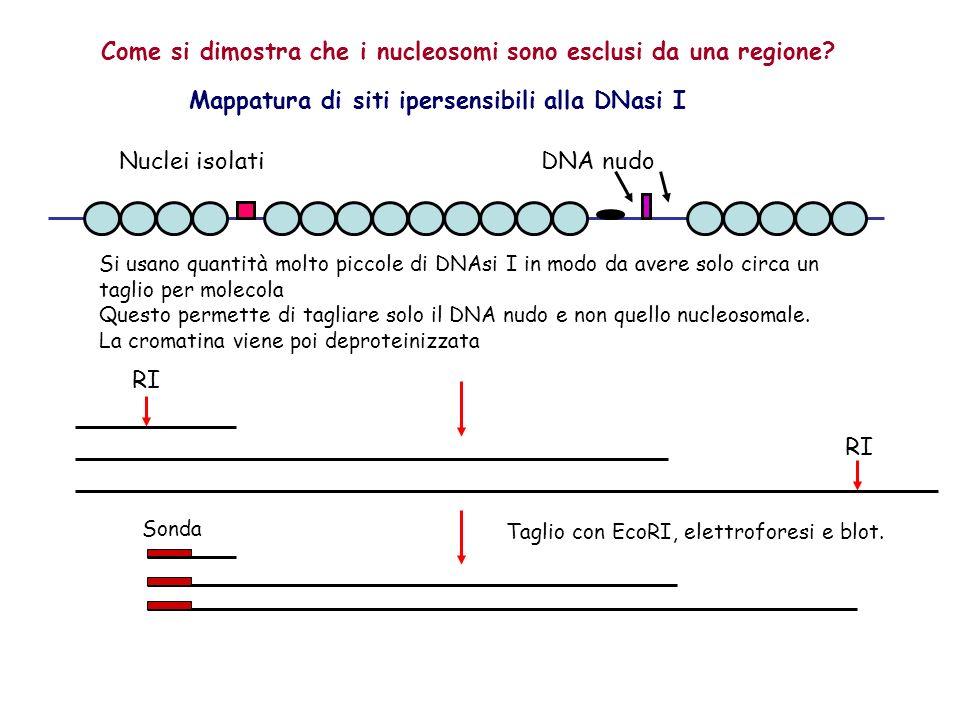 Come si dimostra che i nucleosomi sono esclusi da una regione? Mappatura di siti ipersensibili alla DNasi I DNA nudo Si usano quantità molto piccole d