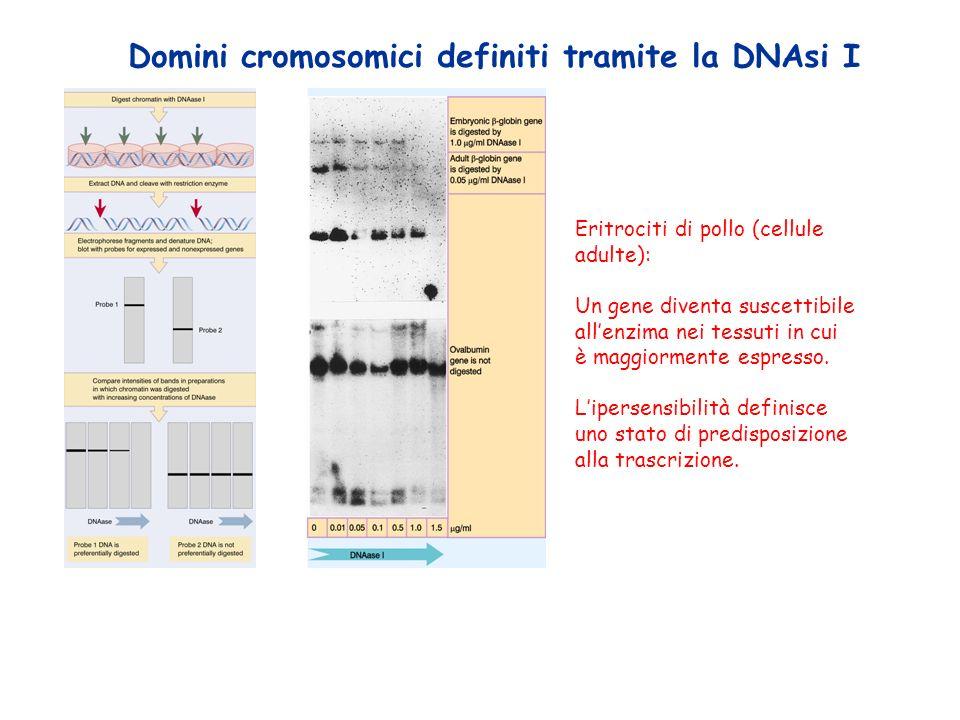 Domini cromosomici definiti tramite la DNAsi I Eritrociti di pollo (cellule adulte): Un gene diventa suscettibile allenzima nei tessuti in cui è maggiormente espresso.