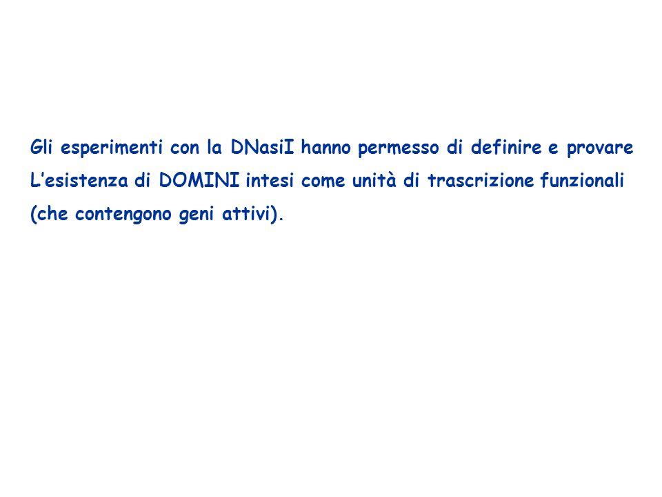 Gli esperimenti con la DNasiI hanno permesso di definire e provare Lesistenza di DOMINI intesi come unità di trascrizione funzionali (che contengono g