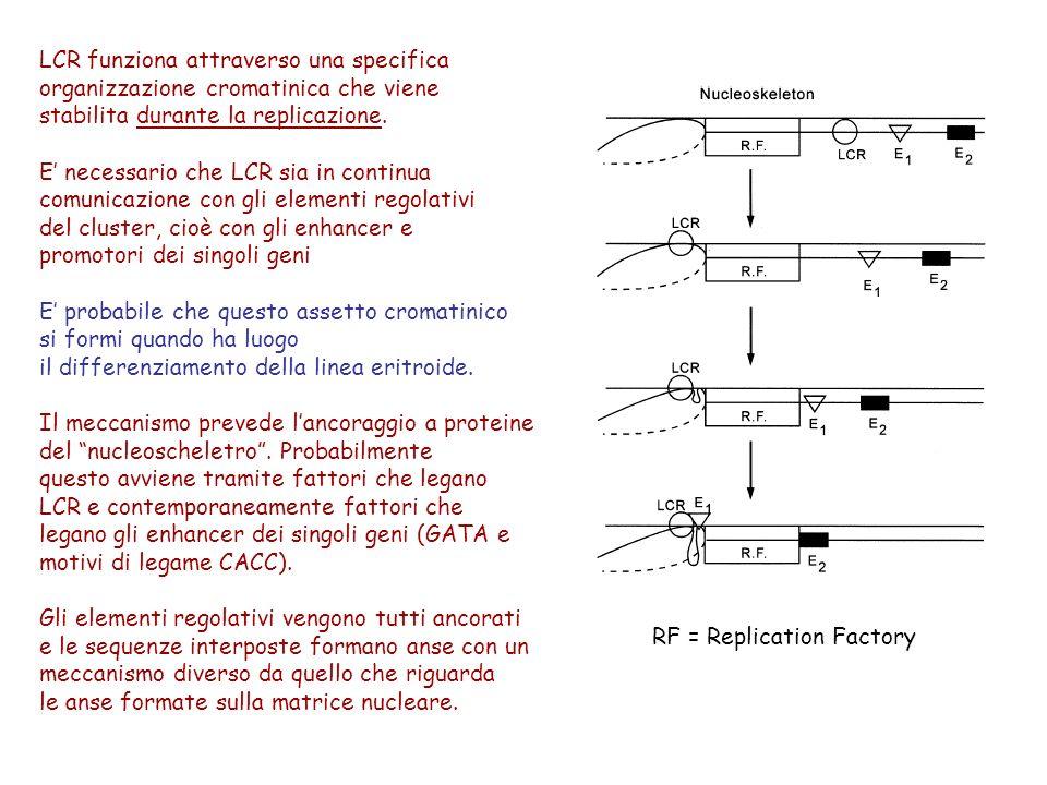 LCR funziona attraverso una specifica organizzazione cromatinica che viene stabilita durante la replicazione. E necessario che LCR sia in continua com