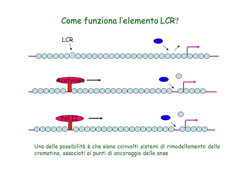 In topo: NF-E2 e GATA-1 reclutano CBP (CREB-binding protein- acetiltrasferasi) sullLCR Si ha acetilazione sullLCR e a valle fino al distale 3HS1 32Kb In human Pit1- attivatore trascrizionale del locus presente su LCR e su promotore.