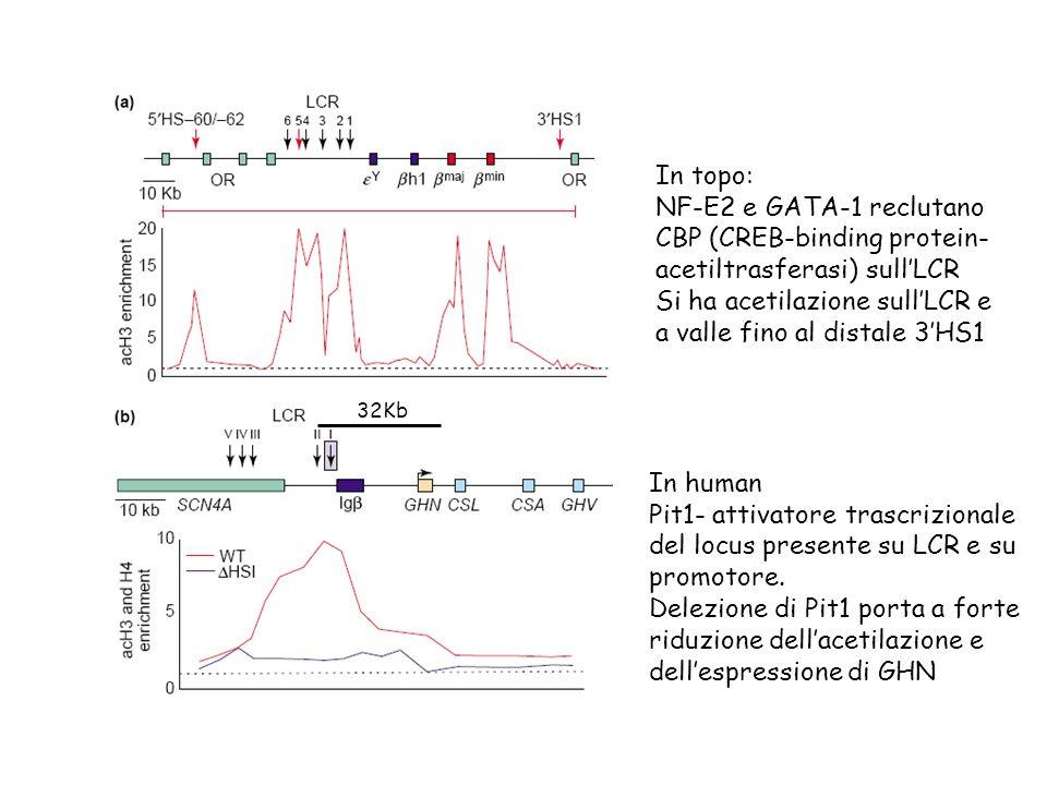 In topo: NF-E2 e GATA-1 reclutano CBP (CREB-binding protein- acetiltrasferasi) sullLCR Si ha acetilazione sullLCR e a valle fino al distale 3HS1 32Kb