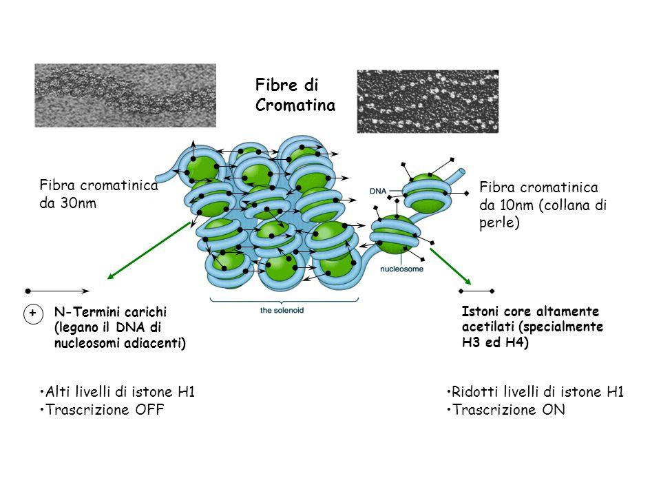 Fibre di Cromatina Fibra cromatinica da 30nm Fibra cromatinica da 10nm (collana di perle) + Istoni core altamente acetilati (specialmente H3 ed H4) N-Termini carichi (legano il DNA di nucleosomi adiacenti) Alti livelli di istone H1 Trascrizione OFF Ridotti livelli di istone H1 Trascrizione ON