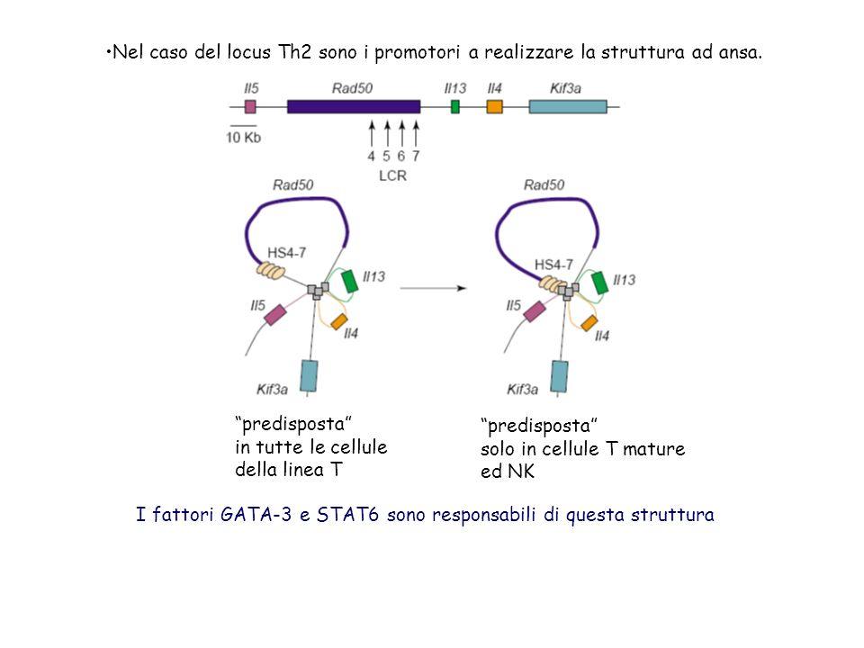 predisposta in tutte le cellule della linea T predisposta solo in cellule T mature ed NK Nel caso del locus Th2 sono i promotori a realizzare la struttura ad ansa.