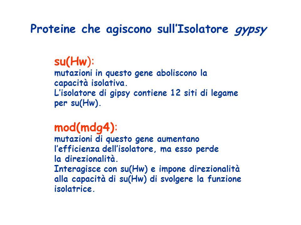 Proteine che agiscono sullIsolatore gypsy su(Hw): mutazioni in questo gene aboliscono la capacità isolativa.