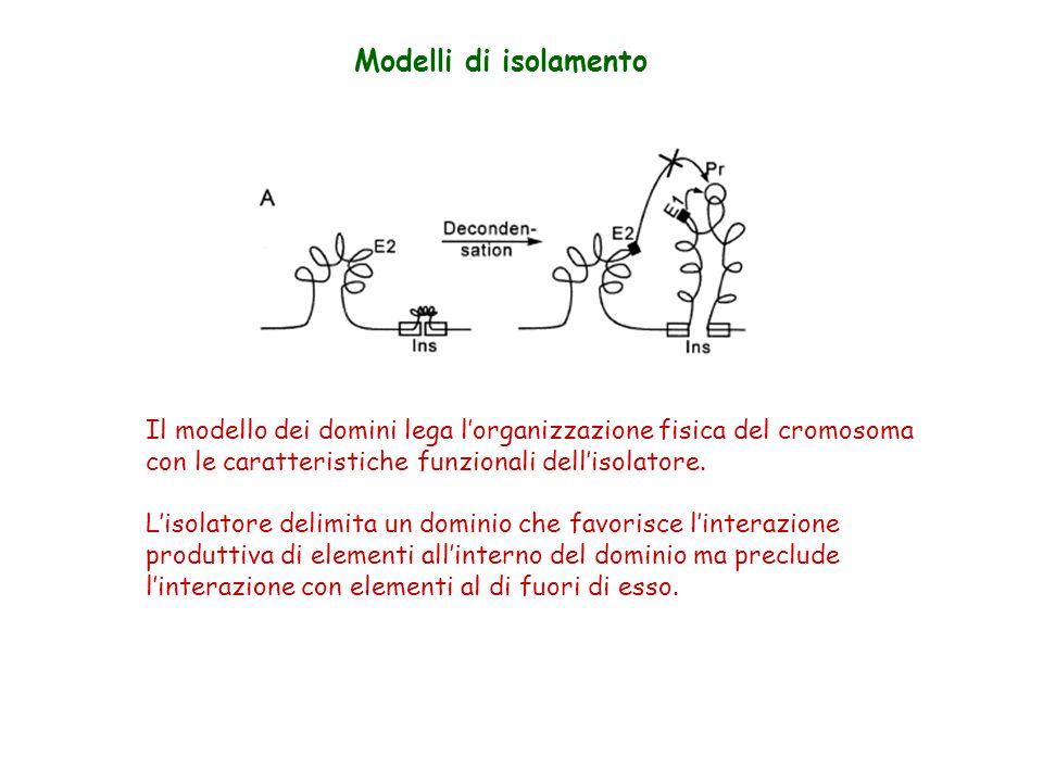 Modelli di isolamento Il modello dei domini lega lorganizzazione fisica del cromosoma con le caratteristiche funzionali dellisolatore. Lisolatore deli