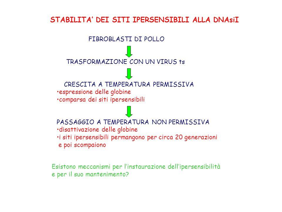 STABILITA DEI SITI IPERSENSIBILI ALLA DNAsiI FIBROBLASTI DI POLLO TRASFORMAZIONE CON UN VIRUS ts CRESCITA A TEMPERATURA PERMISSIVA espressione delle globine comparsa dei siti ipersensibili PASSAGGIO A TEMPERATURA NON PERMISSIVA disattivazione delle globine i siti ipersensibili permangono per circa 20 generazioni e poi scompaiono Esistono meccanismi per linstaurazione dellipersensibilità e per il suo mantenimento?
