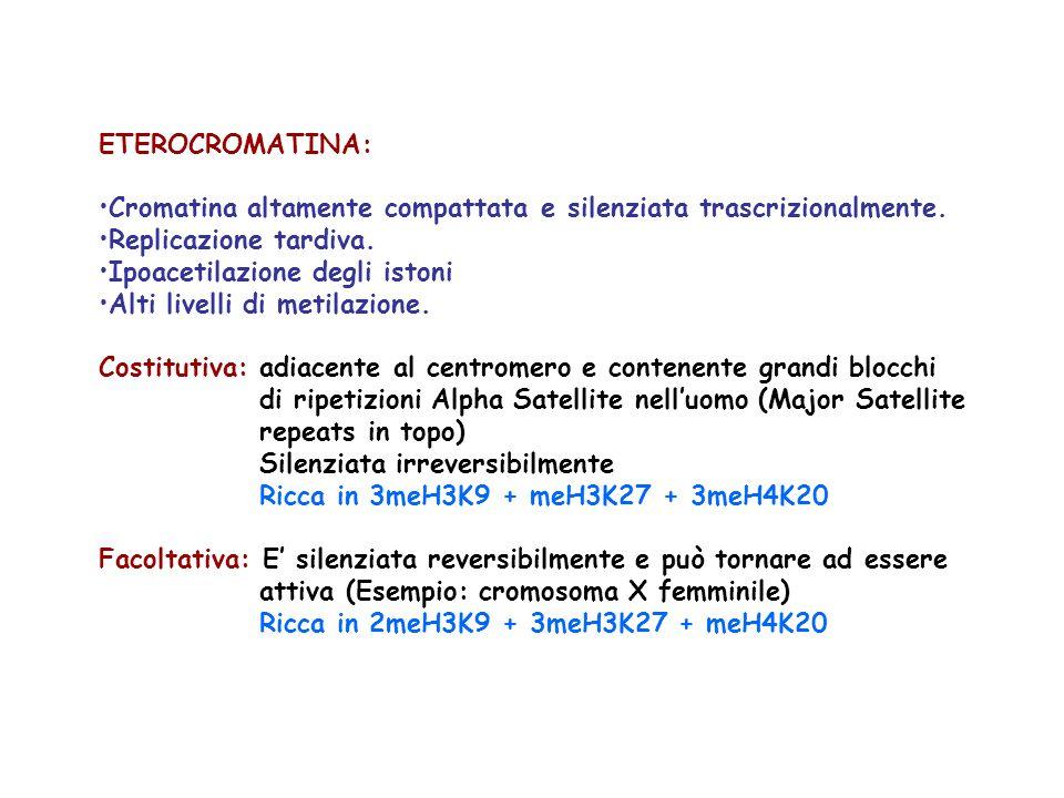 ETEROCROMATINA: Cromatina altamente compattata e silenziata trascrizionalmente.