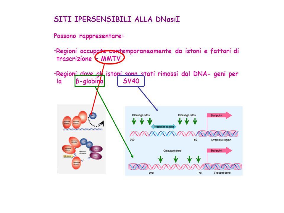 Problema importante: Come avviene lesclusione dei nucleosomi dalle regioni Ipersensibili.
