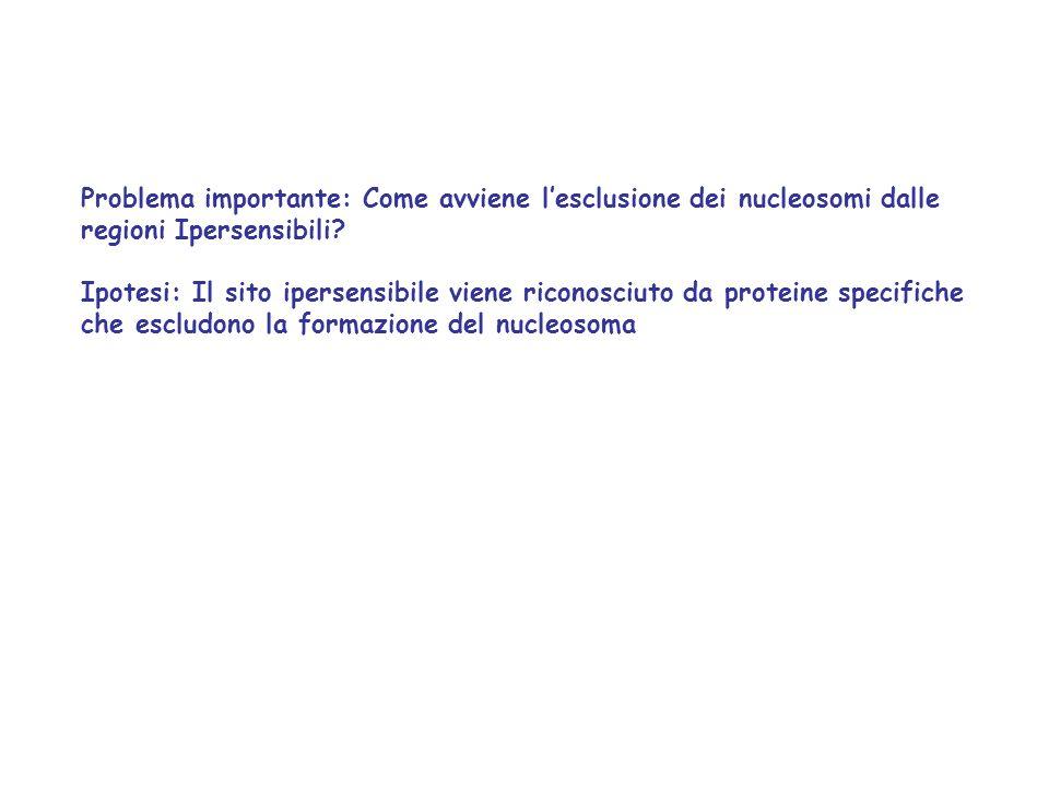 Problema importante: Come avviene lesclusione dei nucleosomi dalle regioni Ipersensibili? Ipotesi: Il sito ipersensibile viene riconosciuto da protein
