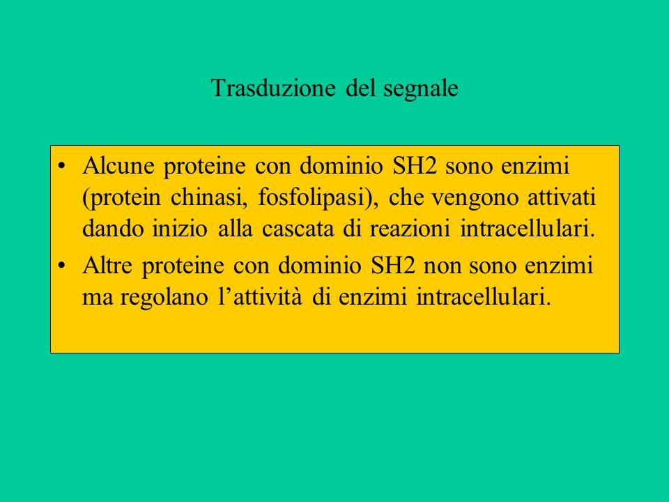 Trasduzione del segnale Alcune proteine con dominio SH2 sono enzimi (protein chinasi, fosfolipasi), che vengono attivati dando inizio alla cascata di reazioni intracellulari.