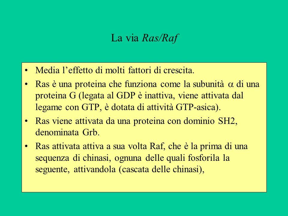 La via Ras/Raf Media leffetto di molti fattori di crescita.