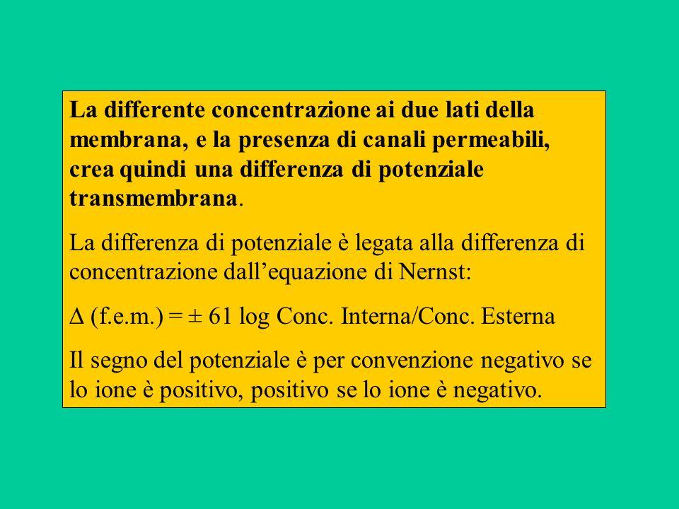 La differente concentrazione ai due lati della membrana, e la presenza di canali permeabili, crea quindi una differenza di potenziale transmembrana.