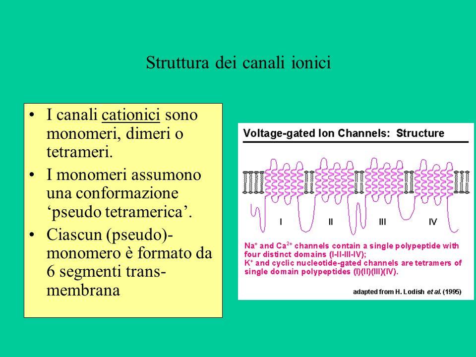 Struttura dei canali ionici I canali cationici sono monomeri, dimeri o tetrameri.