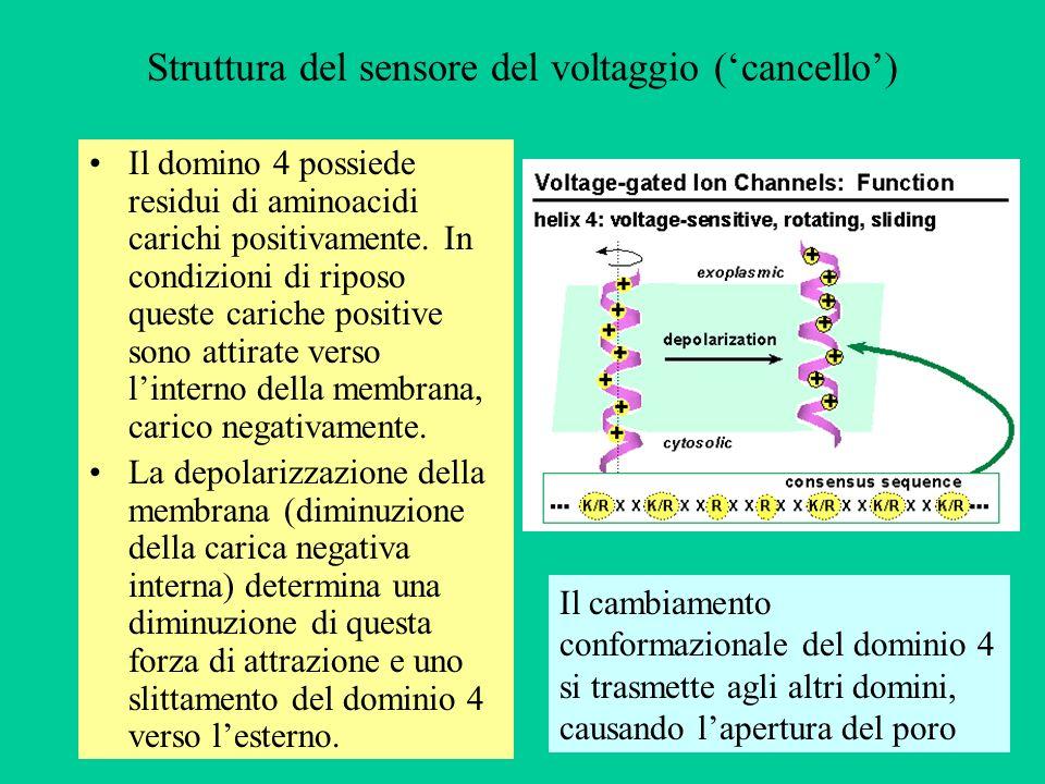 Struttura del sensore del voltaggio (cancello) Il domino 4 possiede residui di aminoacidi carichi positivamente.