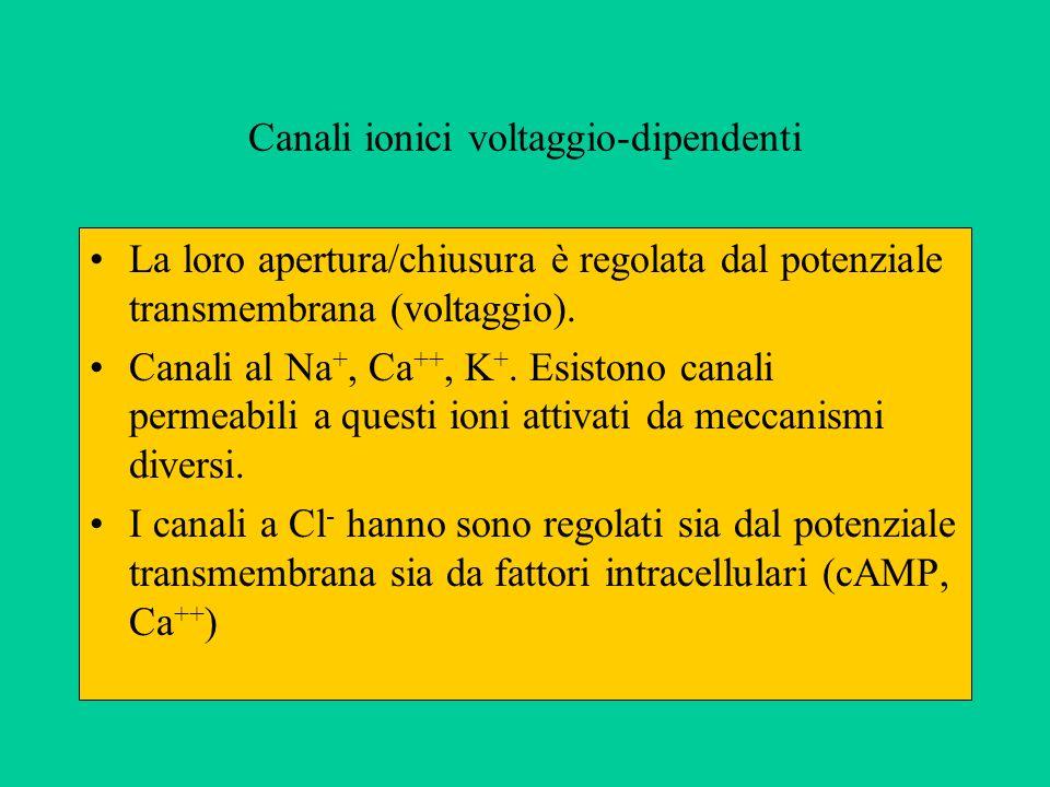 Canali ionici voltaggio-dipendenti La loro apertura/chiusura è regolata dal potenziale transmembrana (voltaggio).