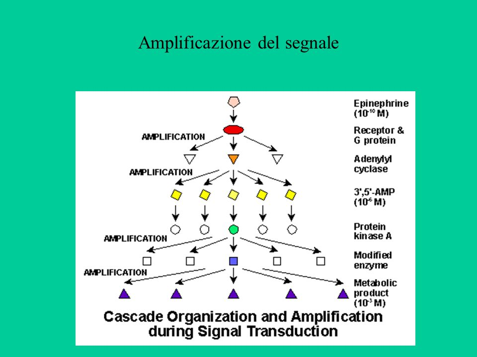 Anche i recettori accoppiati a proteine G possono attivare la cascata della MAP-chinasi Tramite meccanismi complessi e ancora poco conosciuti, la stimolazione dei recettori accoppiati a proteine G può attivare la cascata delle chinasi, il cui effetto ultimo è la modulazione dellespressione genica.