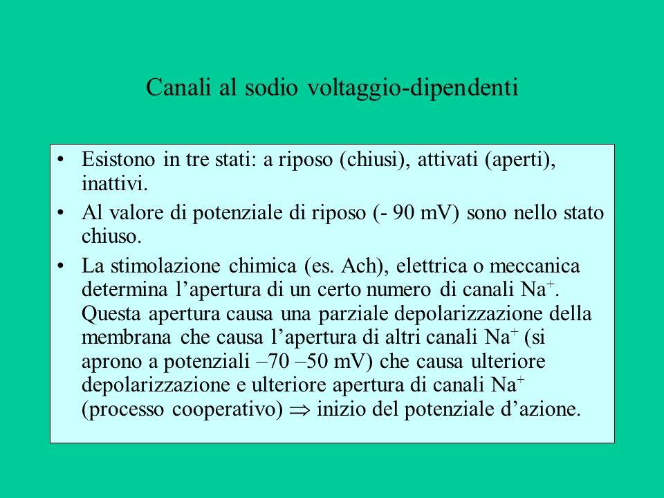 Canali al sodio voltaggio-dipendenti Esistono in tre stati: a riposo (chiusi), attivati (aperti), inattivi.