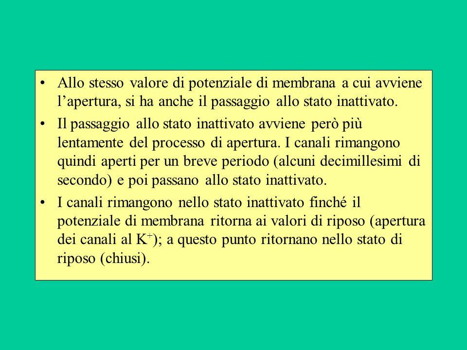 Allo stesso valore di potenziale di membrana a cui avviene lapertura, si ha anche il passaggio allo stato inattivato.