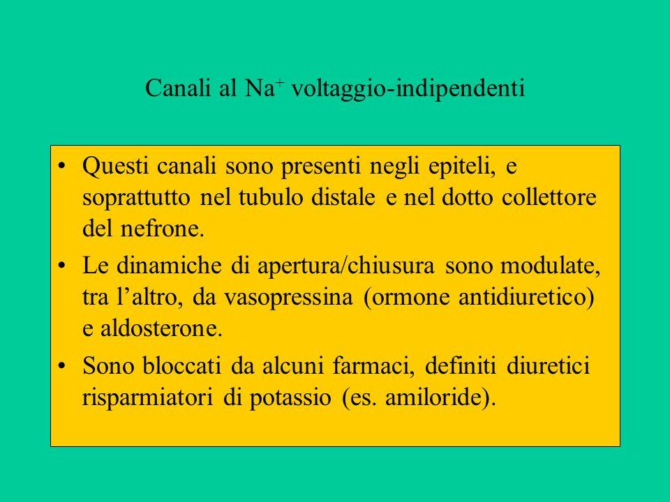 Canali al Na + voltaggio-indipendenti Questi canali sono presenti negli epiteli, e soprattutto nel tubulo distale e nel dotto collettore del nefrone.