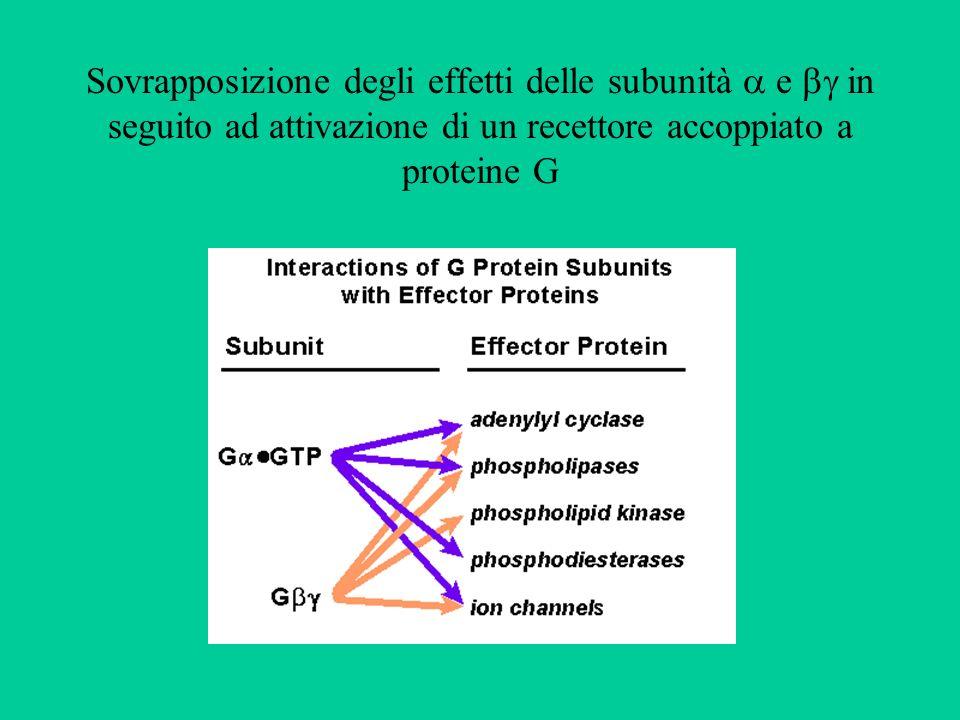Proteine citosoliche leganti il Ca++ Le proteine citosoliche leganti il Ca++ non sono saturate Per aumentare la concentrazione di Ca++ libero di 5 volte (da 100 a 500 nM) è necessario il passaggio nel citosol di circa 400 x 100 nmoli/l di Ca++ Variazioni efficaci di Ca++ libero possono essere determinate solo dallapertura di canali ad alta capacità (canali voltaggio-dipendenti ad alta soglia, canali dei siti di deposito) La proteina legante il Ca++ più diffusa è la calmodulina, che agisce anche da modulatore di molti enzimi