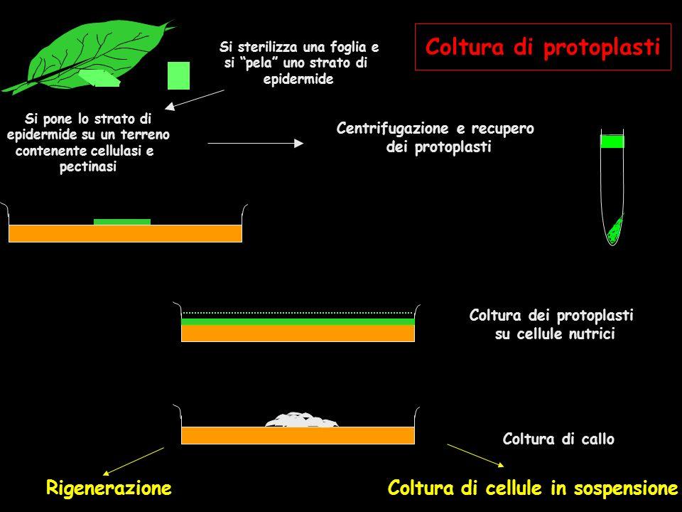Coltura dei protoplasti su cellule nutrici Coltura di callo Rigenerazione Coltura di cellule in sospensione Centrifugazione e recupero dei protoplasti