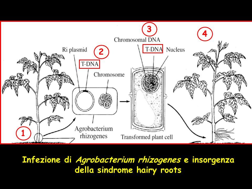 Infezione di Agrobacterium rhizogenes e insorgenza della sindrome hairy roots 1 2 3 4