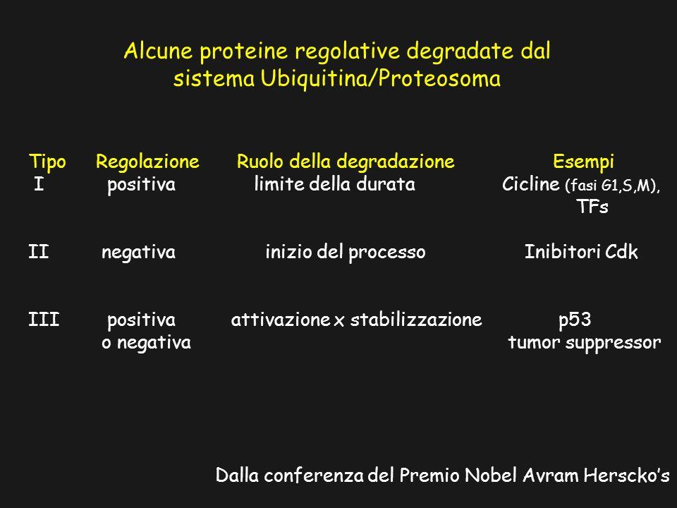 Alcune proteine regolative degradate dal sistema Ubiquitina/Proteosoma Dalla conferenza del Premio Nobel Avram Hersckos TipoRegolazione Ruolo della degradazione Esempi I positiva limite della durata Cicline (fasi G1,S,M), TFs II negativa inizio del processo Inibitori Cdk III positiva attivazione x stabilizzazione p53 o negativa tumor suppressor