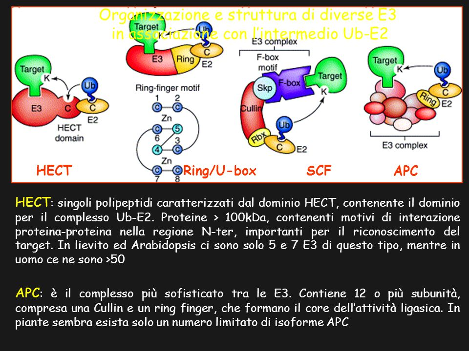 HECT Ring/U-box SCF APC Organizzazione e struttura di diverse E3 in associazione con lintermedio Ub-E2 HECT : singoli polipeptidi caratterizzati dal dominio HECT, contenente il dominio per il complesso Ub-E2.